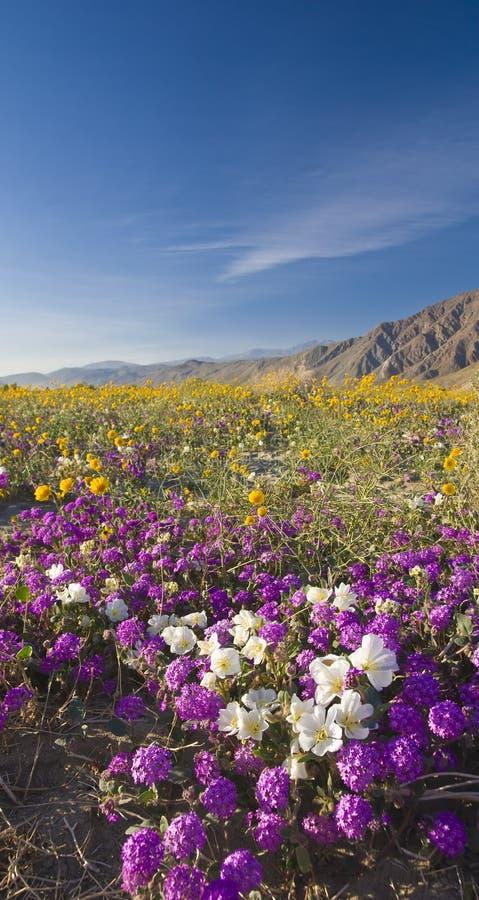 Wildflower del deserto. fotografia stock libera da diritti