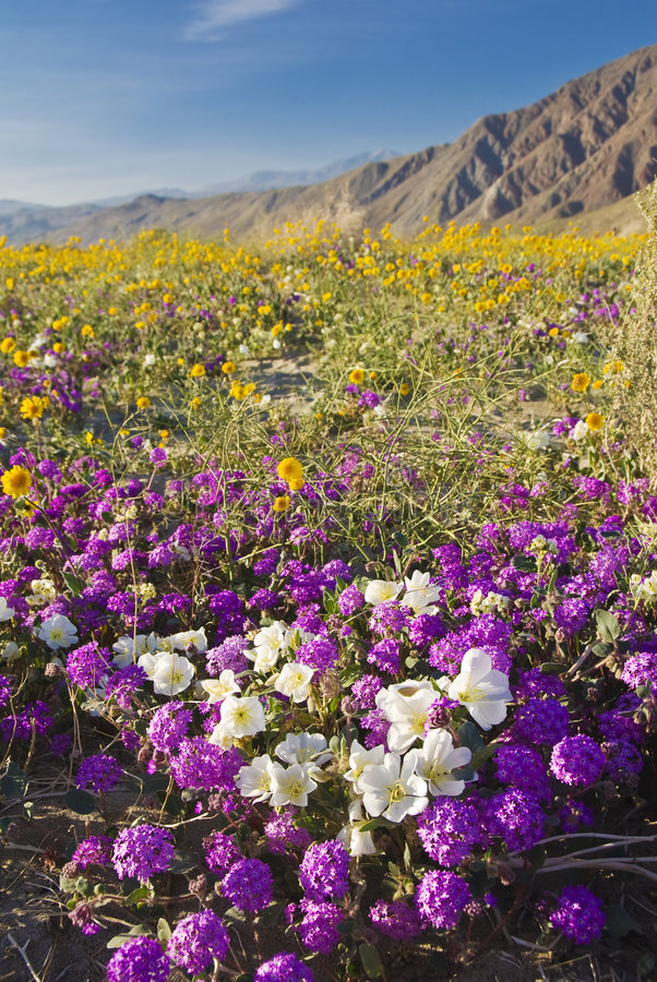 Wildflower del deserto. immagini stock