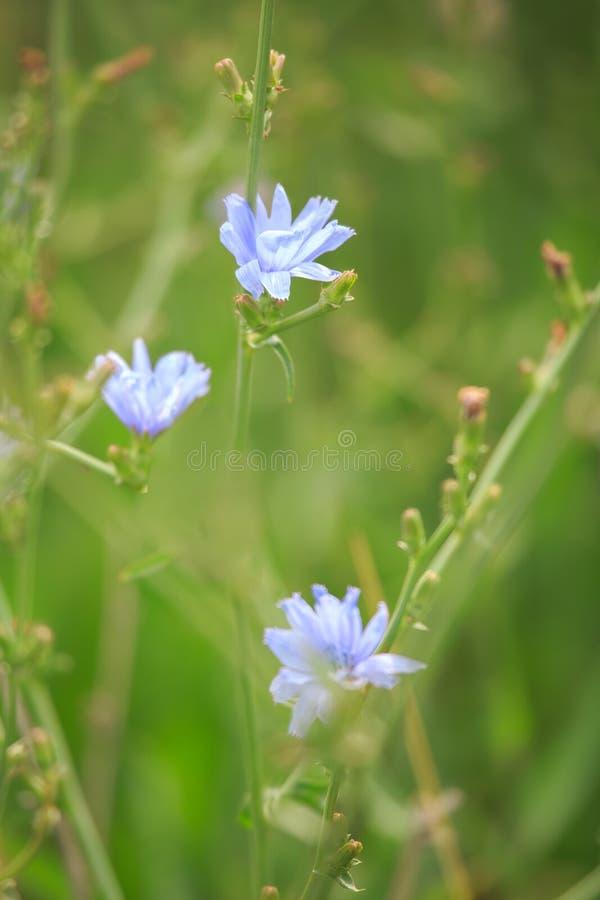 Wildflower del sabio azul (azurea de Salvia) imagen de archivo