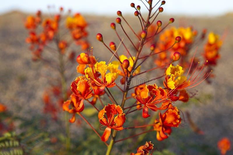 Wildflower dell'Arizona fotografia stock libera da diritti