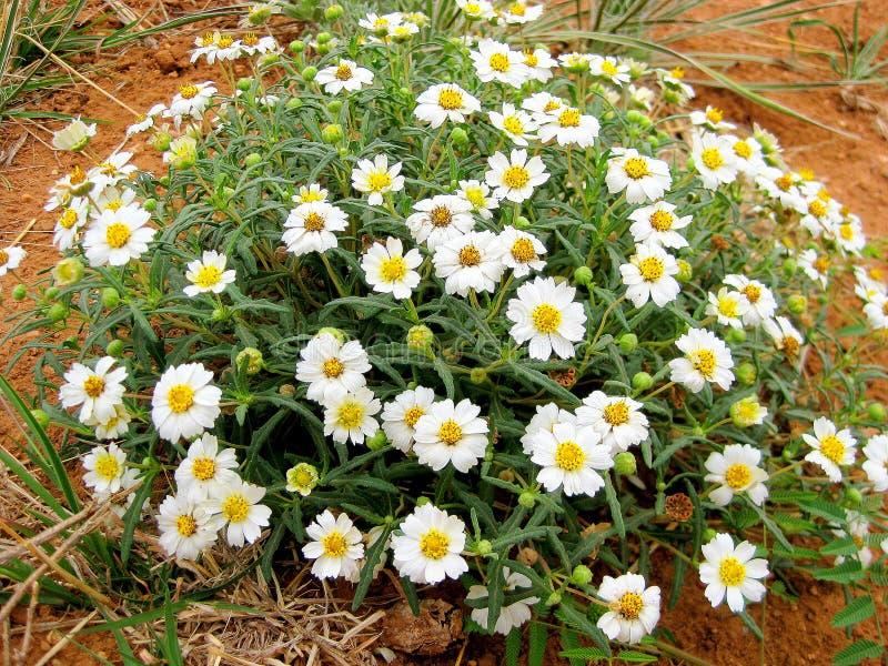 Wildflower della margherita di Texas Plains Blackfoot fotografia stock