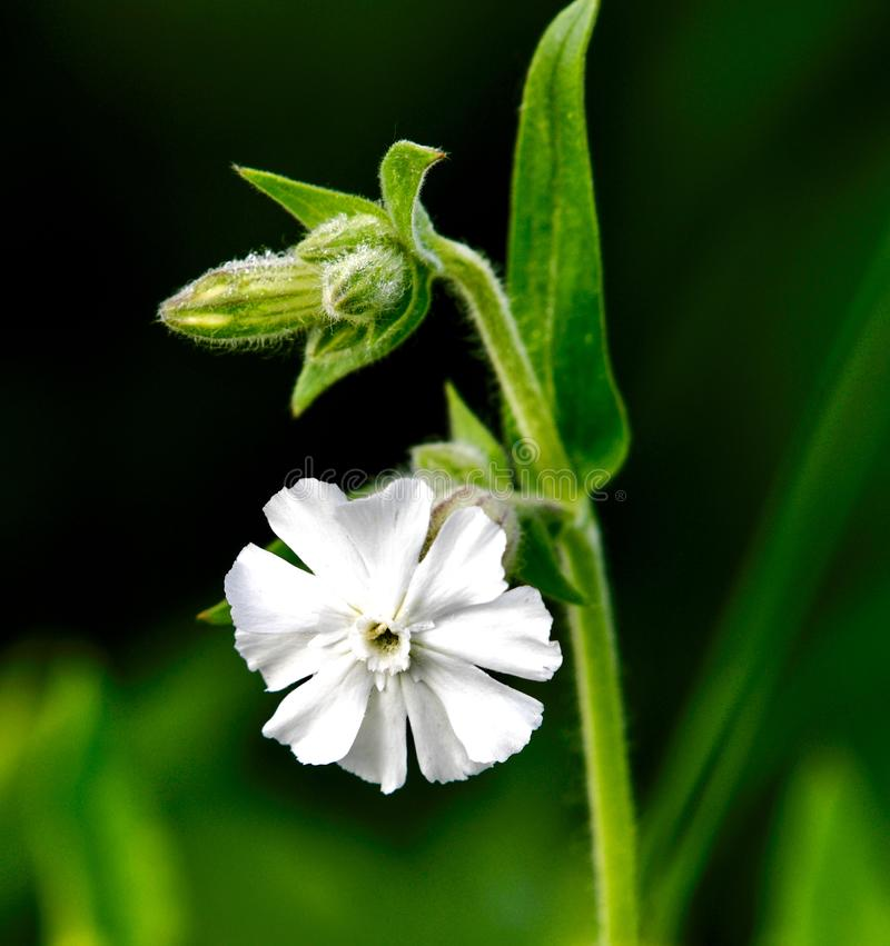 Wildflower della prateria fotografia stock
