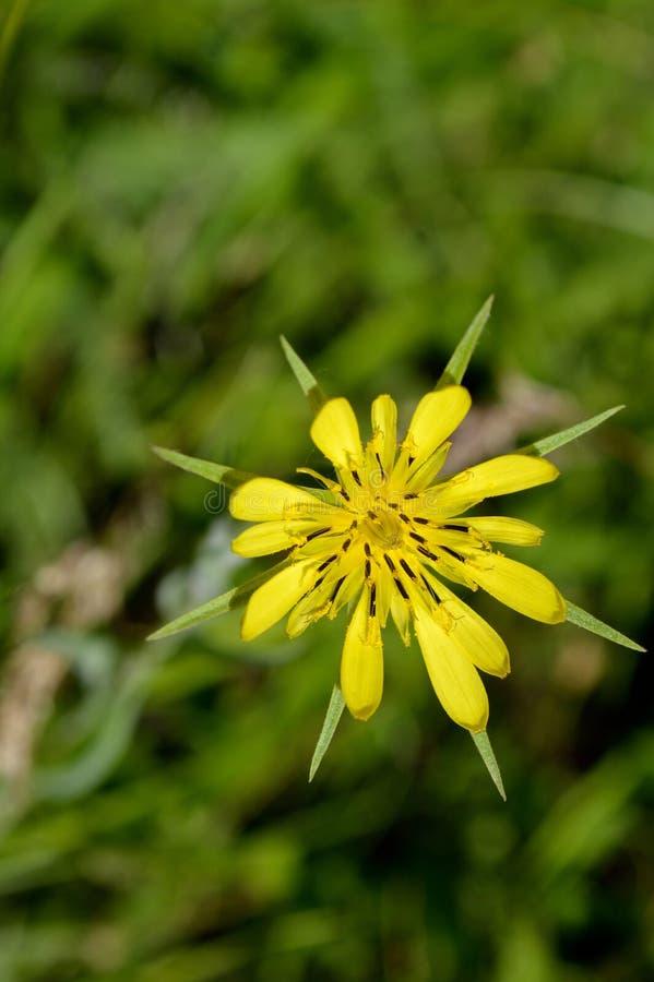 Wildflower della salsefica gialla immagini stock