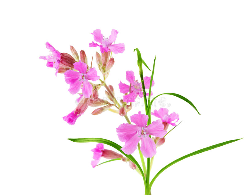 Wildflower dentellare immagine stock libera da diritti