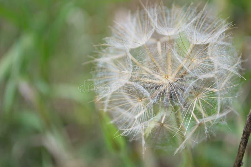 Wildflower der Bart der reifen Samen-Kopf-Ziege lizenzfreie stockfotografie
