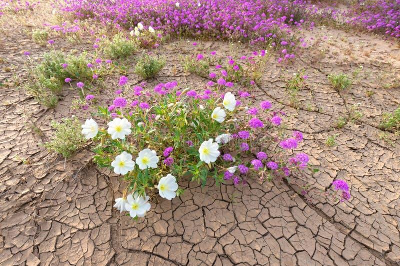 Wildflower on desert floor. Dune Evening Primrose and Sand Verbena blooming on desert floor royalty free stock photo