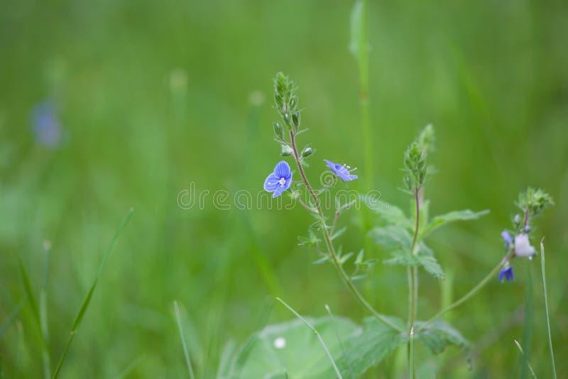 Wildflower di veronica maggiore in giardino fotografia stock libera da diritti