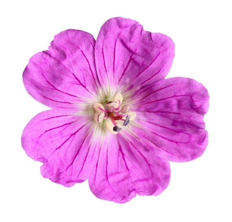 Wildflower fúcsia imagens de stock