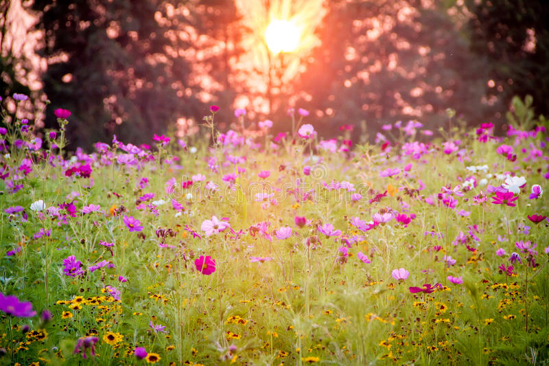 Wildflower-Feld bei Sonnenuntergang stockfotografie