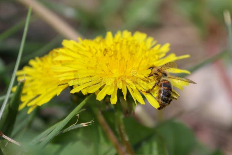 Wildflower, flor amarela, dente-de-leão e abelha fotografia de stock royalty free