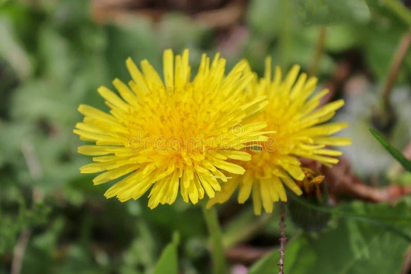 Wildflower, flor amarela, dente-de-leão imagem de stock
