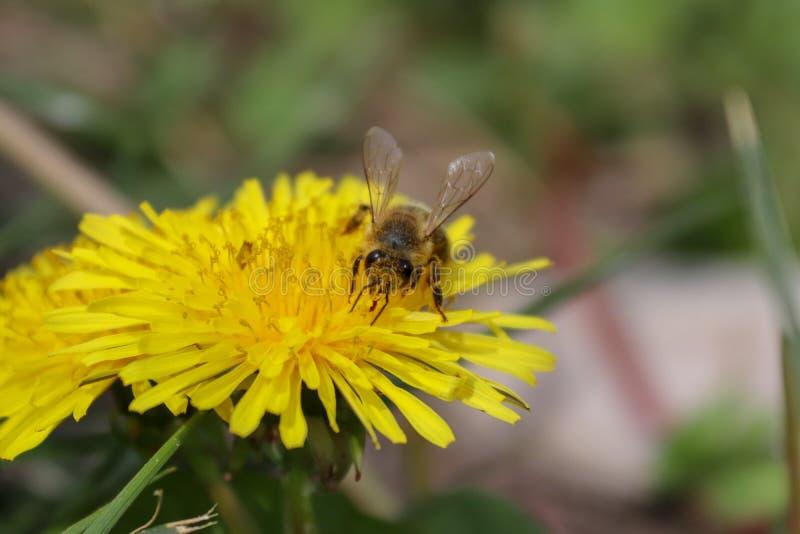 Wildflower, flor amarela, dente-de-le?o e abelha fotos de stock royalty free