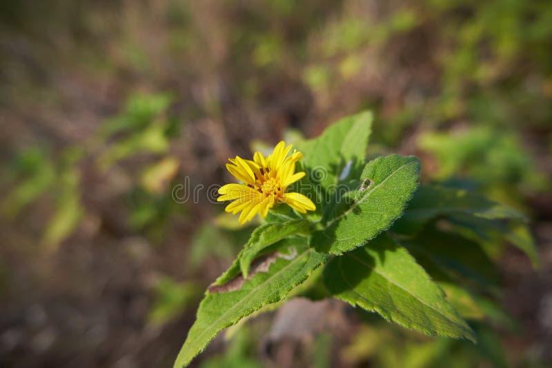 Wildflower florescido amarelo 2 de 2 fotografia de stock royalty free