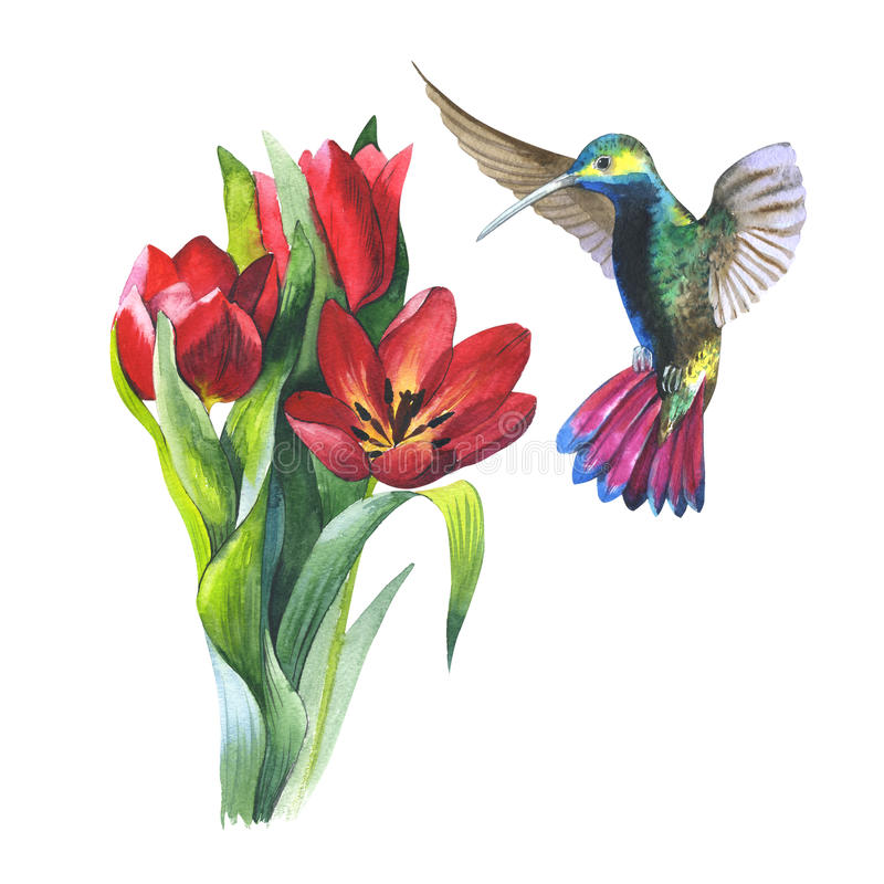 Wildflower flower tulip and colibri bird in a watercolor style isolated. Wildflower tulip flower and colibri bird in a watercolor style isolated. Aquarelle wild stock illustration
