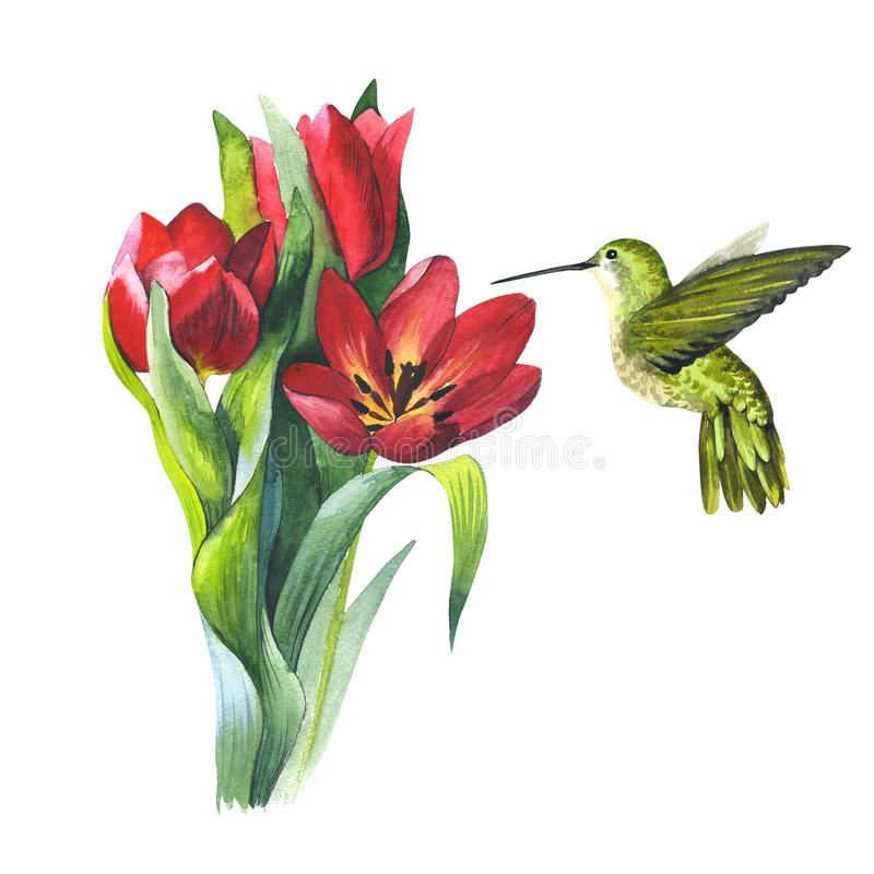 Wildflower flower tulip and colibri bird in a watercolor style isolated. Wildflower tulip flower and colibri bird in a watercolor style isolated. Aquarelle wild royalty free illustration
