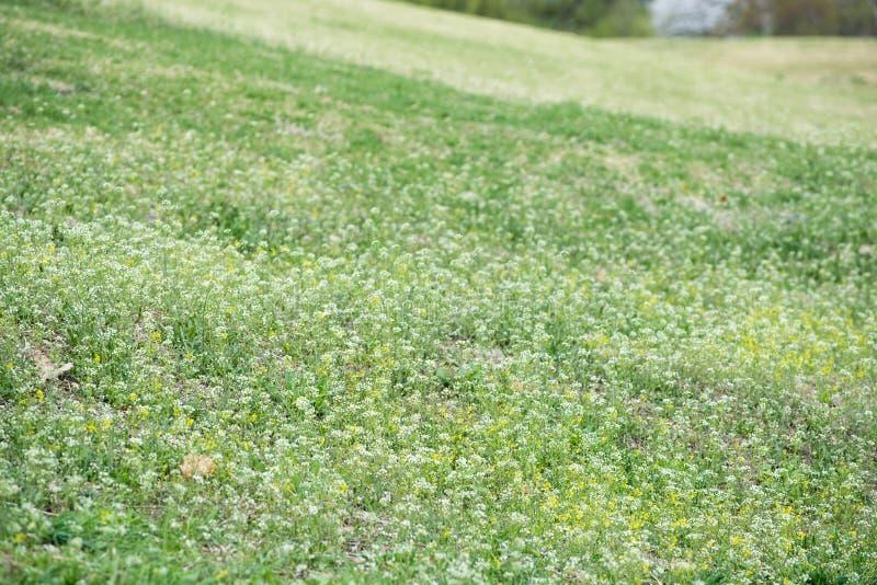 Wildflower in giardino Vento del giacimento di fiore in primavera Erba verde nel vento fotografia stock