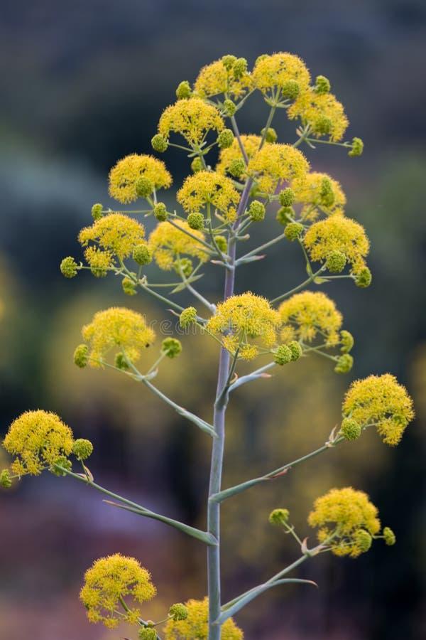 Wildflower gigante del finocchio fotografia stock