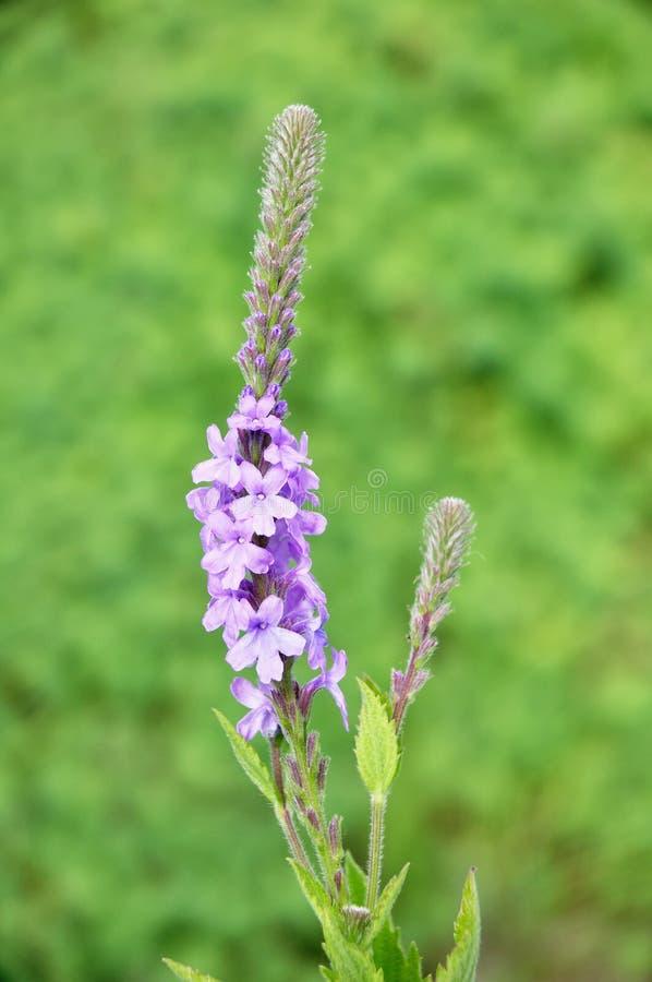 Wildflower Hoary di Vervain (stricta della verbena) fotografie stock libere da diritti