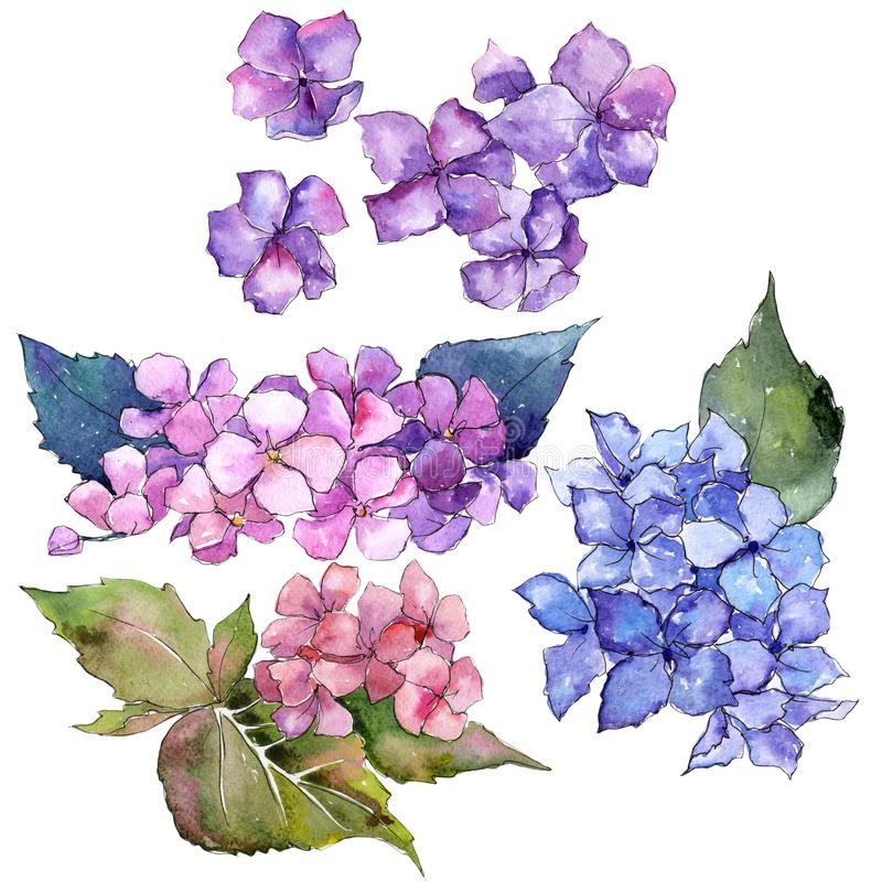 Wildflower hydrangea flower in a watercolor style isolated. Full name of the plant: hydrangea. Aquarelle wild flower for background, texture, wrapper pattern vector illustration