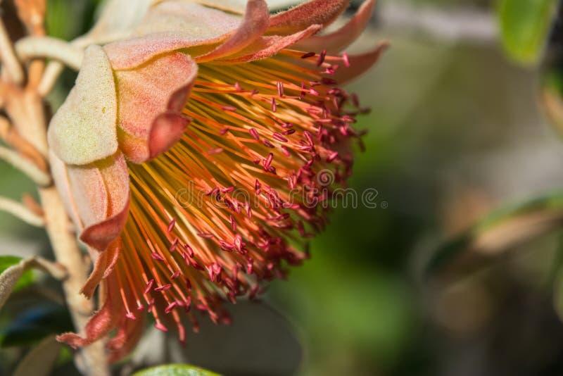 Wildflower indigeno macro Murchison Rosa di Australia occidentale fotografia stock