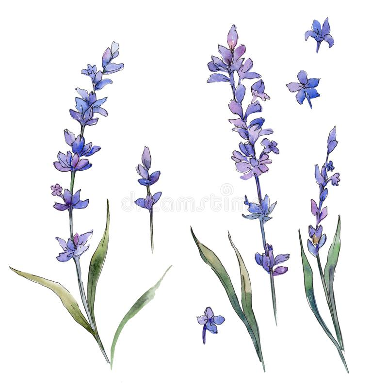 Wildflower lavander flower in a watercolor style isolated. Full name of the plant: lavander. Aquarelle wild flower for background, texture, wrapper pattern vector illustration