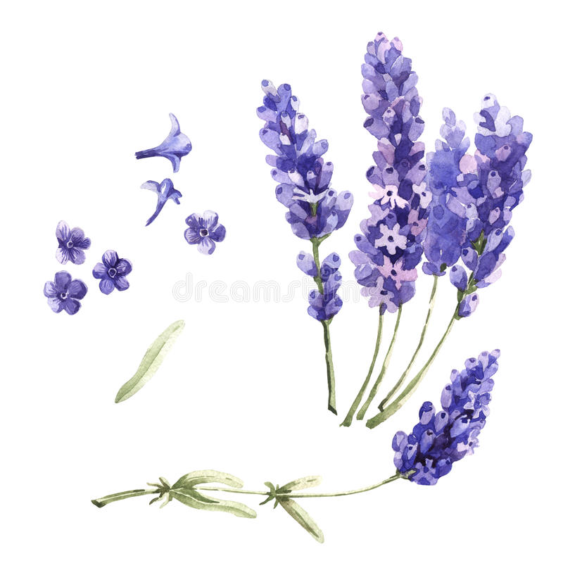 Wildflower lavender flower in a watercolor style isolated. Full name of the plant: lavender. Aquarelle wild flower for background, texture, wrapper pattern royalty free illustration