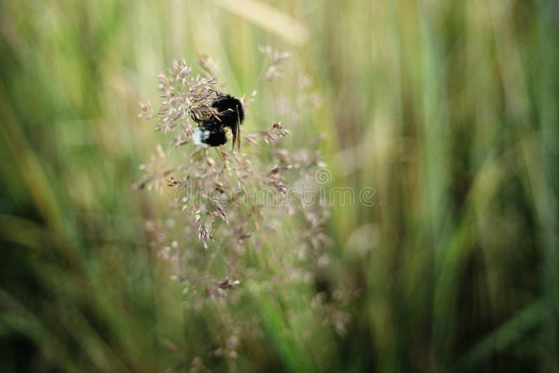 Wildflower lindo de la hierba de la polinización del abejorro en prado del verano en s foto de archivo