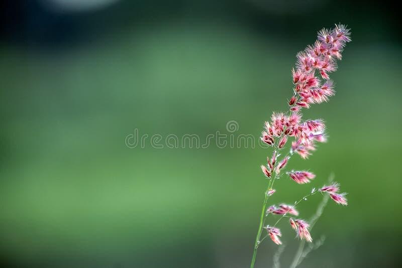 Wildflower magenta au pré photo stock