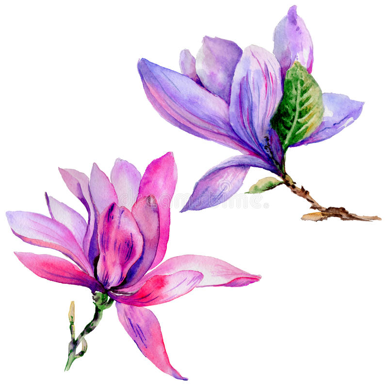 Wildflower magnolia flower in a watercolor style isolated. stock illustration
