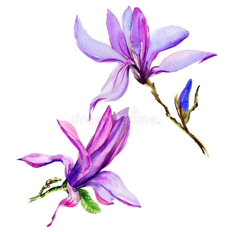Wildflower magnolia flower in a watercolor style isolated. royalty free illustration