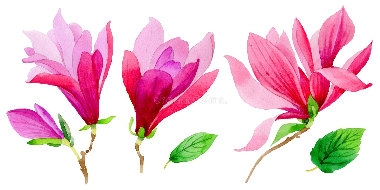 Wildflower magnolia flower in a watercolor style isolated. vector illustration