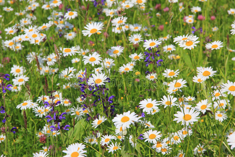 Wildflower meadow with marguerite and salvia royalty free stock photos