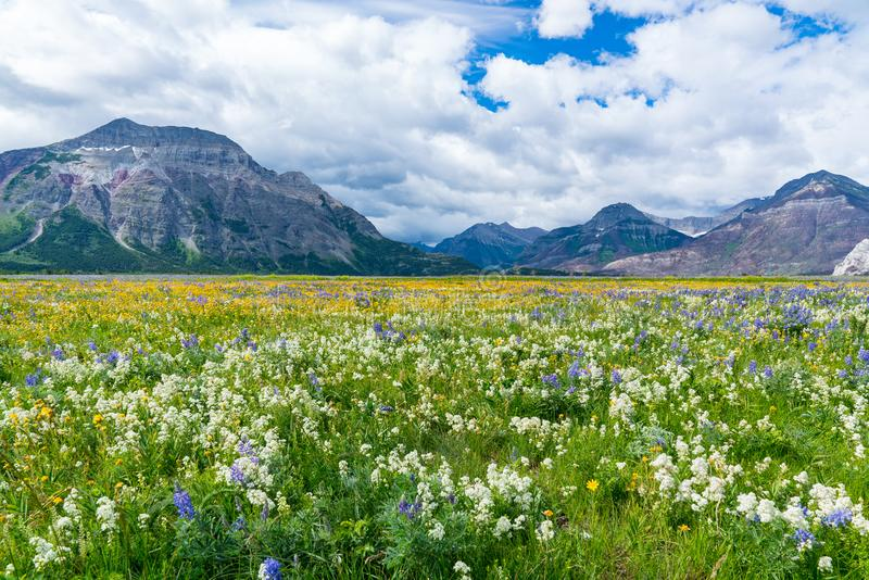 Wildflower Meadow in Waterton Lakes National Park stock images