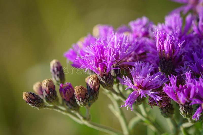 Wildflower occidentale del Ironweed immagini stock