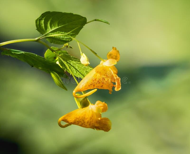 Wildflower orange repéré de Jewelweed photo stock