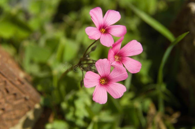 Wildflower púrpura en Arkansas en bosque fotografía de archivo libre de regalías