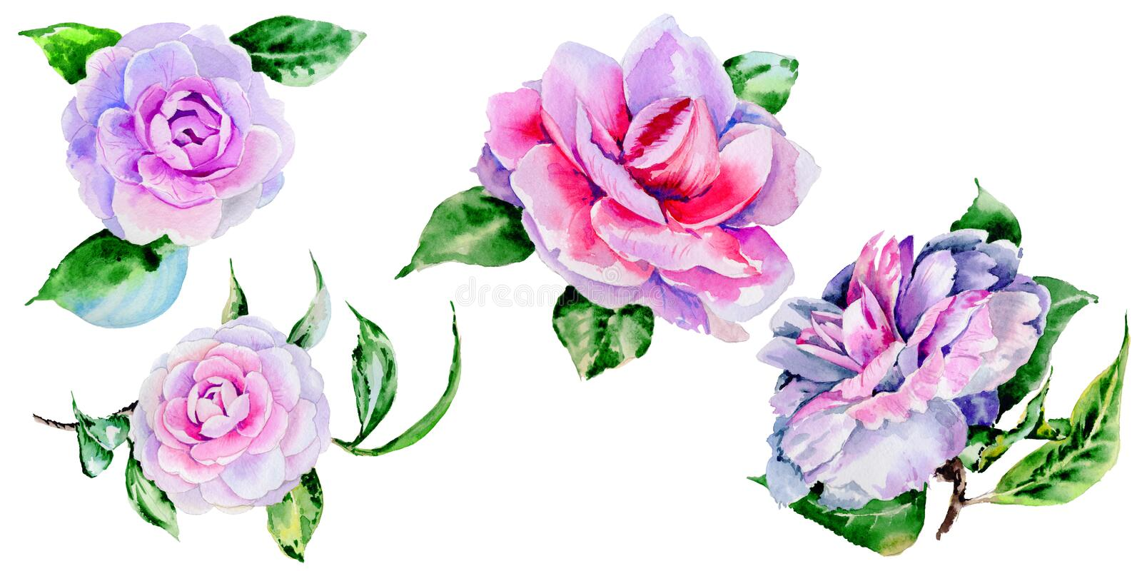 Wildflower peony, camelia flower in a watercolor style isolated. Wildflower peony flower in a watercolor style isolated. Full name of the plant: peony,Peonies stock illustration