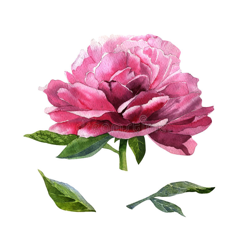 Wildflower peony flower in a watercolor style isolated. stock illustration