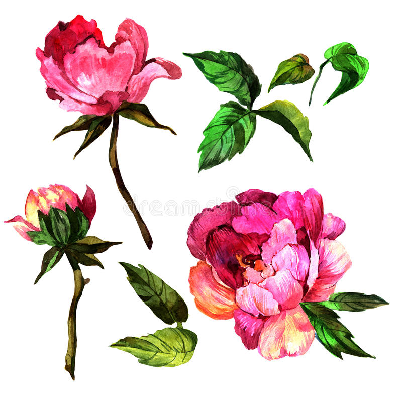 Wildflower peony flower in a watercolor style isolated. royalty free illustration
