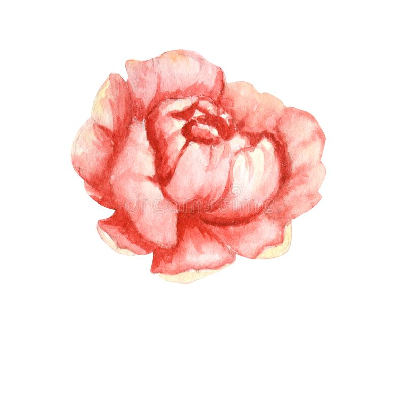 Wildflower peony pink flower in a watercolor style isolated. Aquarelle wildflower for background, frame or border. royalty free illustration