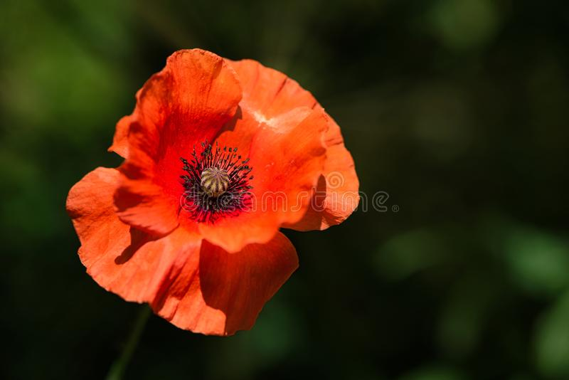 Wildflower Poppy Flower anaranjada en el viento en un prado verde de la primavera imágenes de archivo libres de regalías
