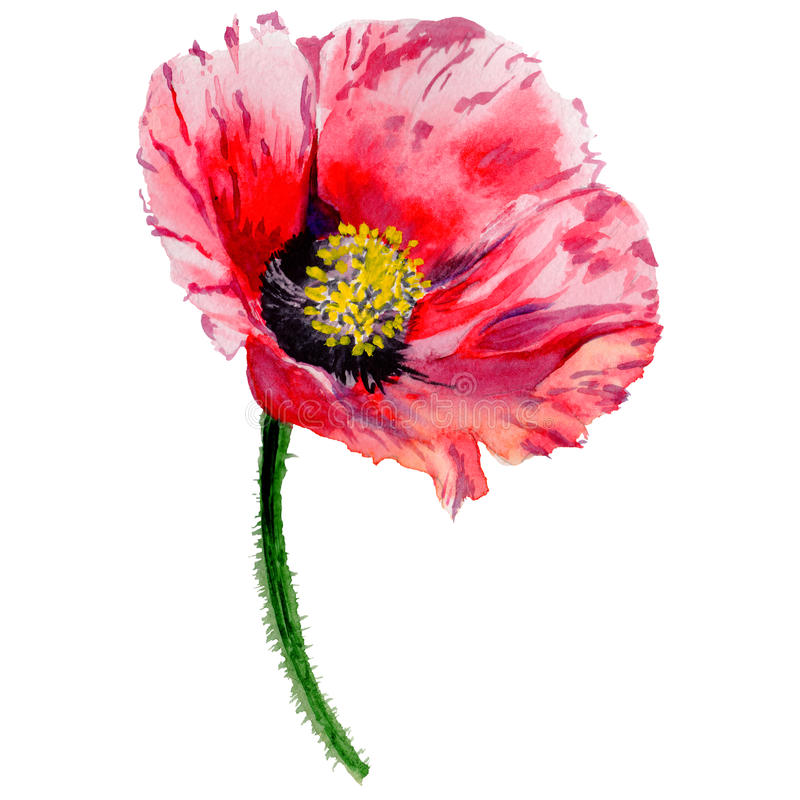 Wildflower poppy flower in a watercolor style isolated. Full name of the plant: poppy, papaver, opium. Aquarelle wild flower for background, texture, wrapper royalty free illustration