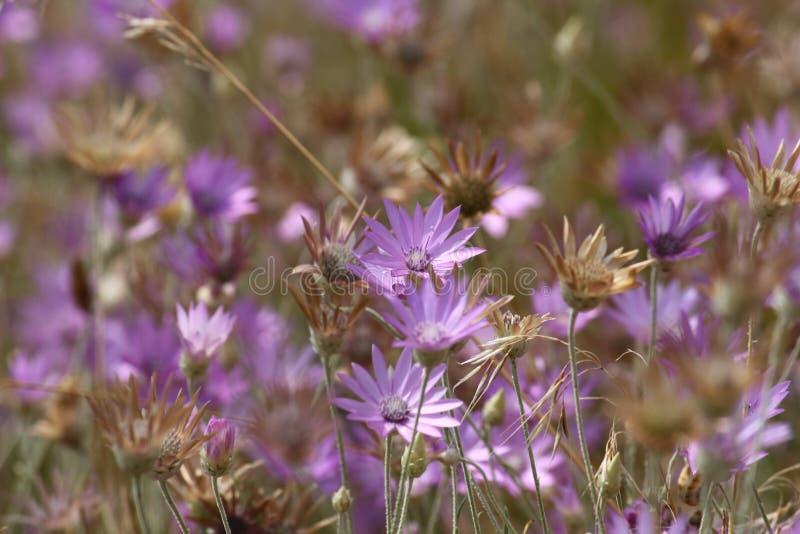 Wildflower pourpre d'Immortelle sur la côte de la Mer Noire pour le fond ou le papier peint L'Ukraine, région de Mykolaiv photographie stock libre de droits
