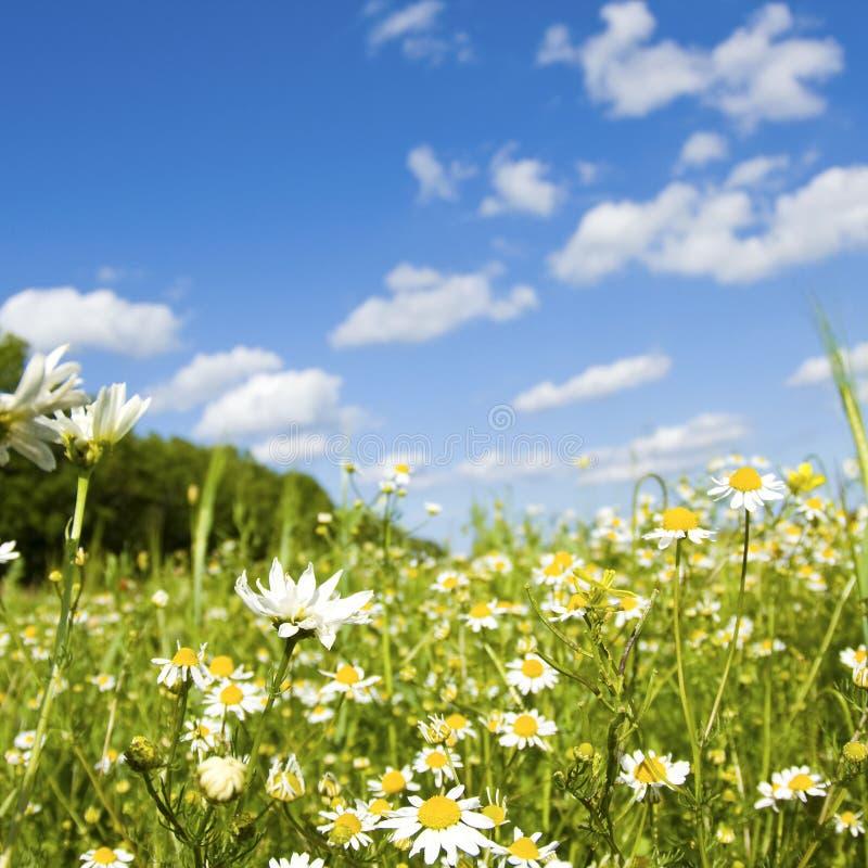 Wildflower in prato fotografia stock