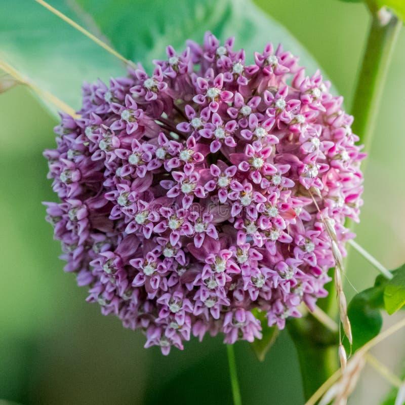 WildFlower rosa dell'allium immagine stock libera da diritti