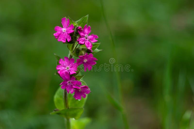 Wildflower rosado en fondo natural verde Flor del rosa del campo con las gotas de agua para el diseño de la bandera Backgroun her imagen de archivo libre de regalías