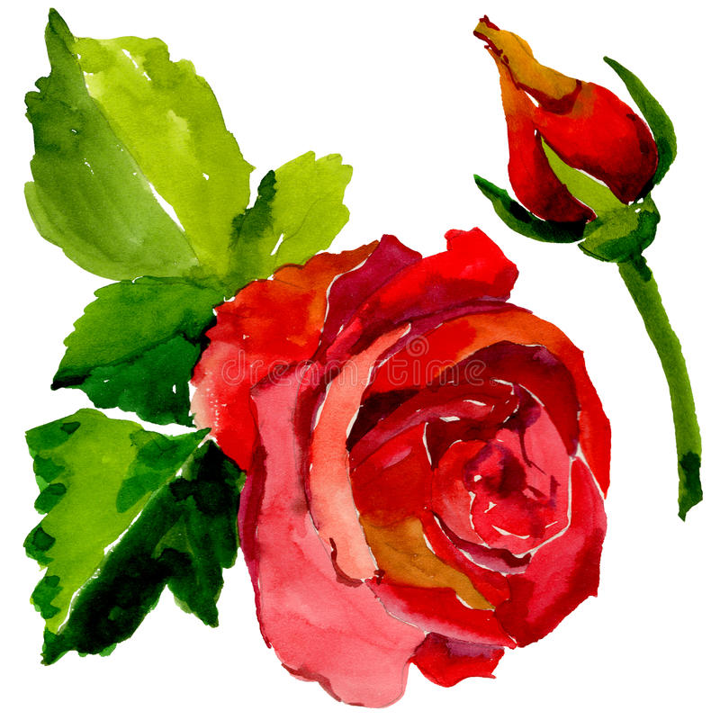 Wildflower rose flower in a watercolor style isolated. royalty free illustration
