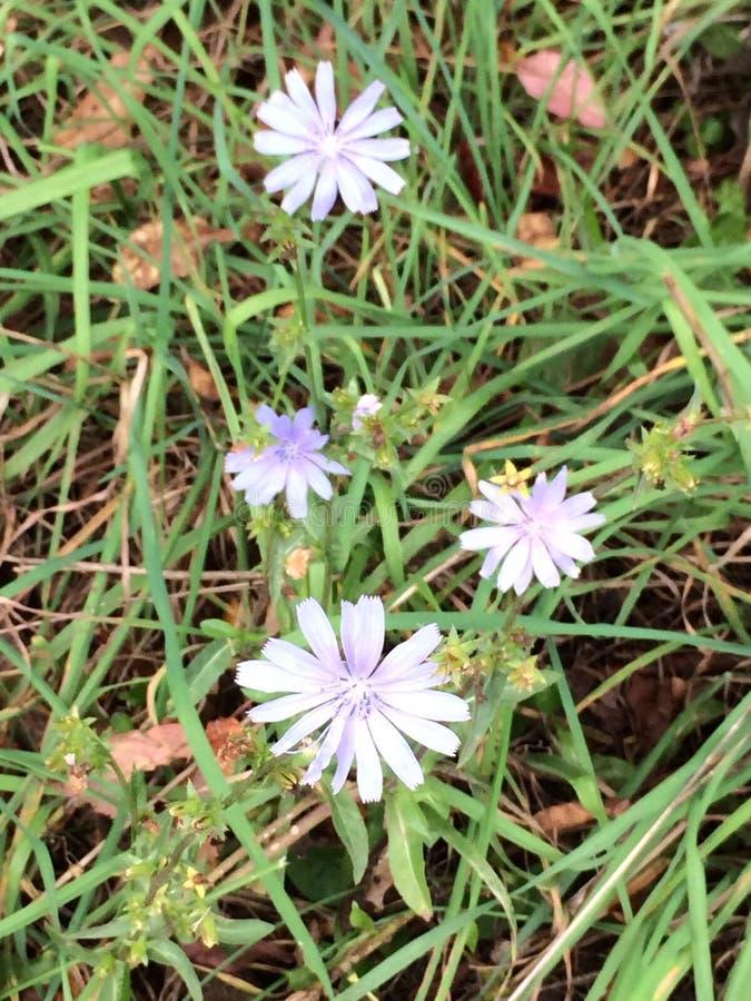 Wildflower roxo fotografia de stock