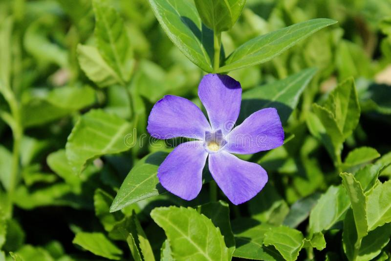 Wildflower roxo vibrante fotografia de stock