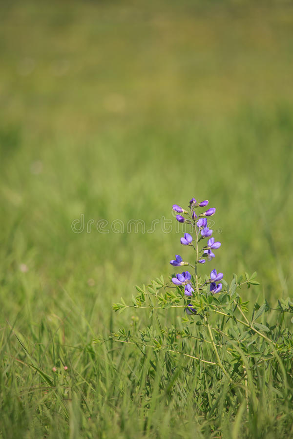 Wildflower - sauvage-indigo bleu photographie stock